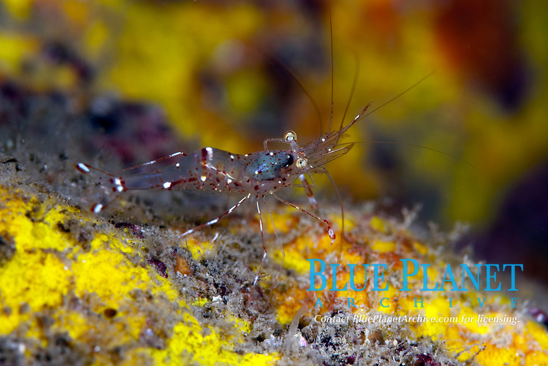 palaemonid shrimp, Urocaridella antonbruunii, Koh Samui, Thailand, Gulf of Thailand, South China Sea, Pacific Ocean