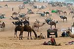 Camels as livestock at the Pushkar Fair, India.