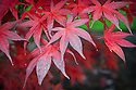 Acer palmatum 'Musashino', early November. A red Japanese maple dating back to the early 18th century.