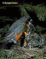 RO03-012z   American Robin - adult feeding young birds at nest - Turdus migratorius