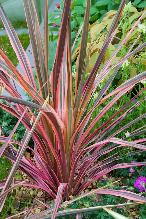 Cordyline australis 'Southern Splendour' Cabbage Palm showing entire plant habit, variegated pink, red, orange, brown leaves
