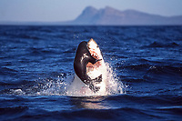 great white shark, Carcharodon carcharias, breaching to attack Cape fur seal or South African fur seal, Arctocephalus pusillus pusillus, a subspecies of brown fur seal, Arctocephalus pusillus, Seal Island, False Bay, South Africa, Atlantic Ocean