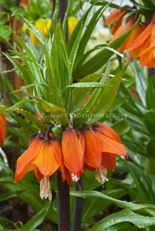 Crown fritillary Fritillaria imperalis 'Rubra' in orange red spring flowers