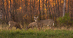 White-tailed doe and fawns feeding in an autumn field.