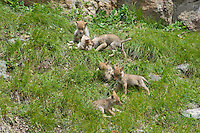 Wild Coyote (Canis latrans) pups playing on grassy hillside not far from den.  Western U.S., June.