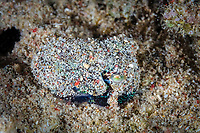hummingbird bobtail squid, Euprymna berryi, aka Berry's bobtail squid, covering itself with sand for camouflage, Komodo National Park, Lesser Sunda Islands, Indonesia, Pacific Ocean