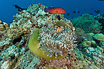 Pink anemonefish (Amphiprion perideraion) in anemone tentacles.