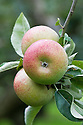 Apple 'Court Pendu Plat', mid September. A very old dessert apple from France, with a history dating back to the 1500s or early 1600s and perhaps much earlier. It was very popular in Victorian times. The fruit has a distinctive flattened shape.