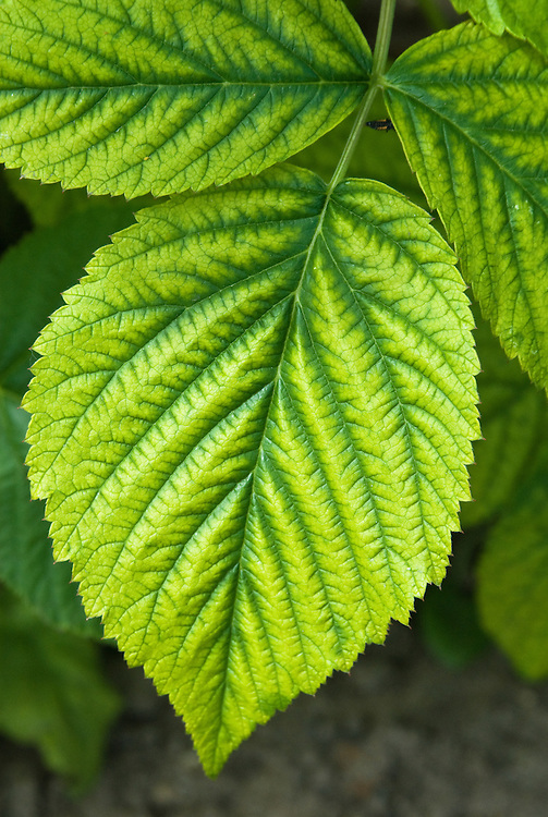 Yellowing of raspberry leaves in between the veins may indicate lack of iron or manganese. It's rare to find soil that is truly short of iron. What tends to happen is that the high levels of calcium in recently limed or very alkaline soils prevent plants from absorbing the iron that is available. For this reason, the disorder is also known as lime-induced chlorosis. It usually goes hand-in-hand with manganese deficiency.