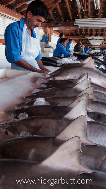 Baby Spot-tail Sharks (Carcharhinus sorrah) on sale in fish souk (market) in Sharjah (Dubai), United Arab Emirates. All caught in the Persian Gulf and many bound for markets in Asia.