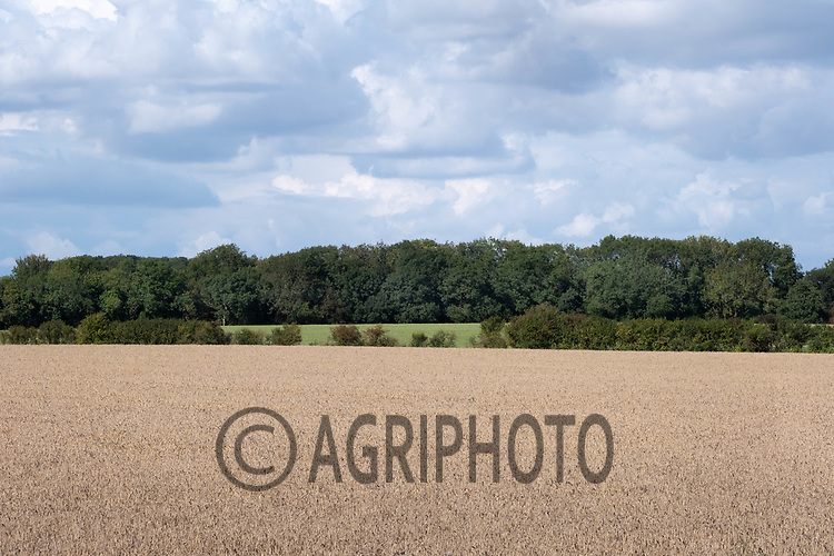 4.9.2020 Spring wheat in Lincolnshire<br /> ©Tim Scrivener Photographer 07850 303986<br />      ....Covering Agriculture In The UK.