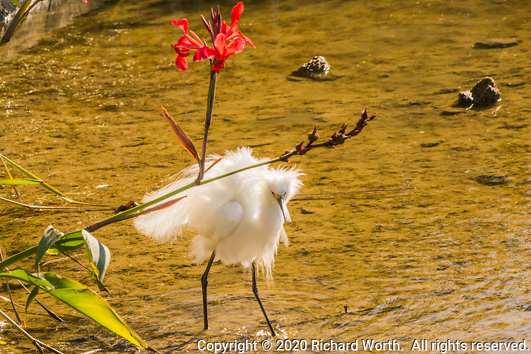 A Snowy egret ruffles its feathers while searching for food along the edge of a pond a a neighborhood park.