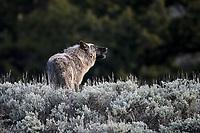 Wolf Howling, Yellowstone