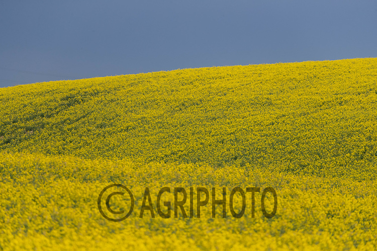 29-4-2021 Oilseed rape flowering <br /> ©Tim Scrivener Photographer 07850 303986<br />      ....Covering Agriculture In The UK....