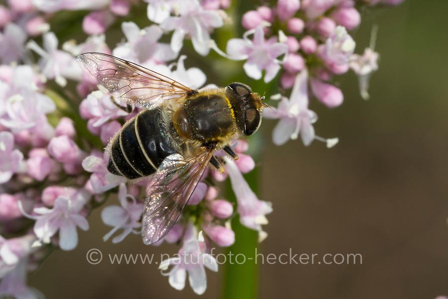 Mittlere Keilfleckschwebfliege, Keilfleck-Schwebfliege, Weibchen, Blütenbesuch an Baldrian, Eristalis interrupta, Eristalis interruptus, hoverfly, female