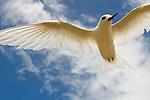White Tern (Gygis alba) flying, Midway Atoll, Hawaiian Leeward Islands, Hawaii
