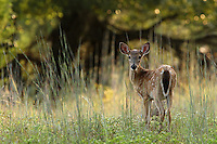 Fawn, early morning.