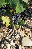 Europe/France/Aquitaine/33/Gironde/Pauillac: Détail du sol typique de Pauillac et cépage cabernet au chateau Pichon Longueville Comtesse de Lalande