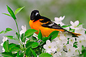 00865-028.07 Baltimore Oriole male is perched in crabapple tree among white blooms. Orange, birding, food, landscape, pollen, fruit.