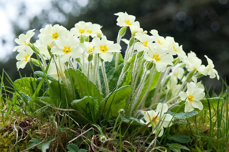 Wild primroses, (Primula vulgaris), early April.