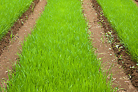 Bright green grass of a rice paddy, Yangshuo, Guangxi, China.