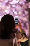 A woman takes pictures of the cherry blossoms in full bloom at Roppongi Midtown on April 1, 2016, Tokyo, Japan. On Thursday, the Japan Meteorological Agency announced that Tokyo's cherry trees were in full bloom, three days earlier than usual, but two days later than last year. The spot starts at the pedestrian bridge in Midtown Tower towards to the Hinokicho Park in Roppongi. (Photo by Rodrigo Reyes Marin/AFLO)