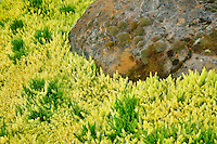 Juniper (juniperus scopulorum) and rock. Oregon Gardens, Oregon