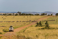 Tanzania. Wildebeest Crossing a Northern Serengeti Road on their Migration to the North.