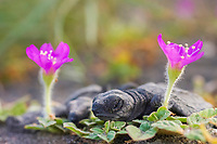 green sea turtle, Chelonia mydas, hatchling, crawling among wildflowers on the beach, Colima, Mexico, Pacific Ocean