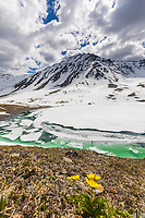 Yellow ross avens and mountain lake , Oolah Pass, Brooks Range, Gates of the Arctic National Park, Alaska.