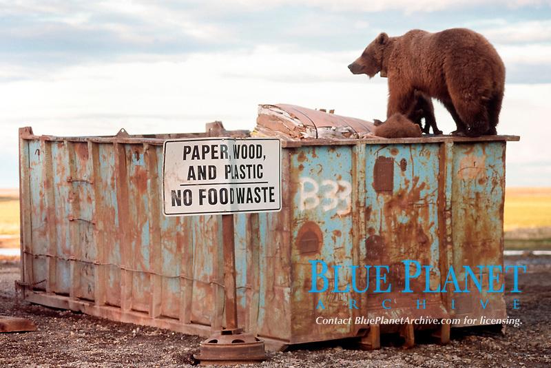grizzly bears, Ursus arctos horribilis, scavenging at the dump, Prudhoe Bay, Alaska