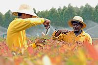Trabalhadores da Jarí  fazem poda  no viveiro de mudas de eucalipto,  gênero de arbustos ou árvores de grande porte, da família das mirtáceas, usado  para plantio de extensas áreas de espécie para posterior produção de papel e celulose  (grupo Orsa).<br />A fábrica em local próximo,  onde é beneficiada a madeira, foi construída em cima de uma balsa e trazida por empurradores do Japão no final da década de 70 e instalada as margens do rio Jarí, fronteira do Pará com o Amapá.<br />Almeirim, Pará, Brasil.<br />Foto Paulo Santos/Interfoto<br />03/2005.