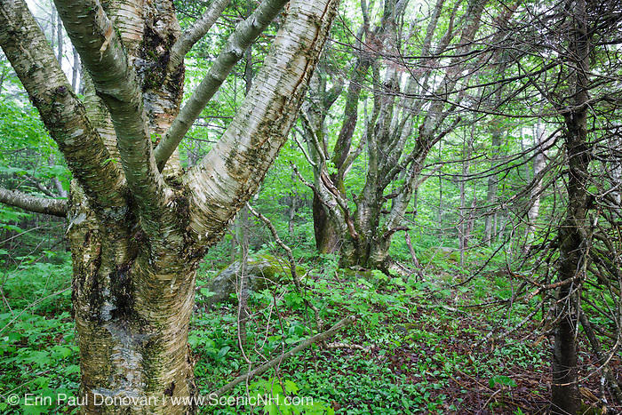 Birch tree in Kinsman Notch of the White Mountains, New Hampshire USA during the spring months.