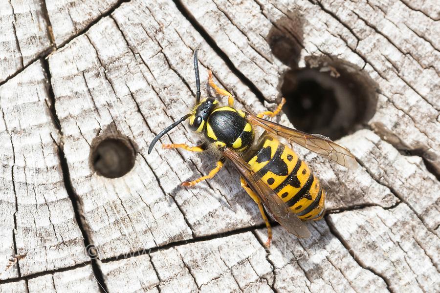 Deutsche Wespe, Königin, Wespe, Wespen, Vespula germanica, Vespa germanica, Paravespula germanica, German wasp, European wasp, queen, wasp, wasps, La guêpe germanique, la guêpe européenne