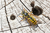 Deutsche Wespe, Königin, Wespe, Wespen, Vespula germanica, Vespa germanica, Paravespula germanica, German wasp, European wasp, queen, wasp, wasps, La guêpe germanique, la guêpe européenne