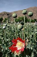 Opium Flower bleeding at 3000 meters in a Nuristani field in East Afghanistan.