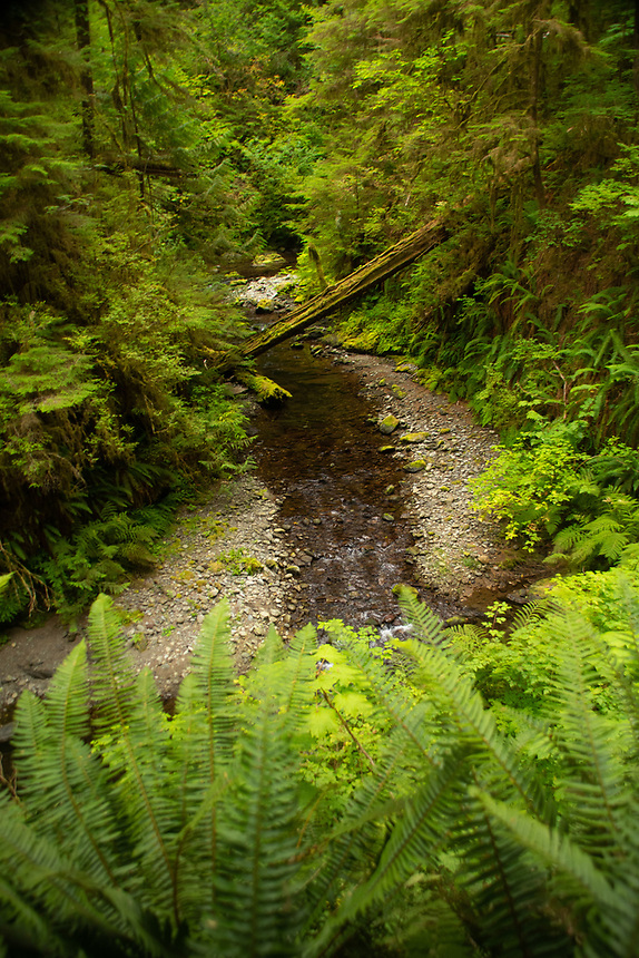Sidestream along Wlliaby Creek. Location: Quinault Rain Forest Trail, Olympic National Forest, Washington, US