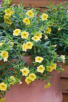 Calibrachoa Cabaret Yellow in pot container