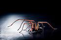 Backlit male house spider {Tegenaria sp.} walking. Derbyshire.