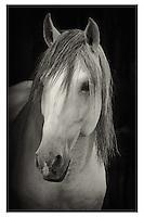 Lusitano horse portrait in black and white