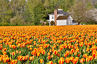 Field of tulips and farm house. Mt. Vernon. Washington