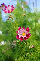 Cosmos bipinnatus 'Pied Piper'