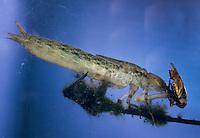Große Königslibelle, Grosse Königs-Libelle, Larve im Wasser, mit einem gefangenen Rückenschwimmer als Beute, Nymphe, Anax imperator, Emperor Dragonfly, L´Anax empereur, Edellibelle, Aeshnidae, Edellibellen, Aeschnidae, hawkers, darners