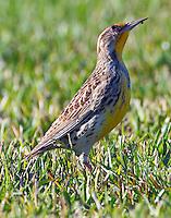 Adult western meadowlark in non-breeding plumage