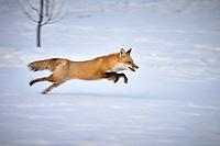 Renard au Quebec l'hiver<br /> <br /> Fox in Quebec's winter