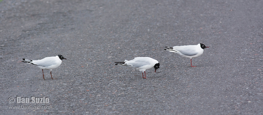 Andean gulls, Larus serranus, on a road in Antisana Ecological Reserve, Ecuador
