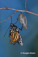 MO04-500B    Monarch emerging from chrysalis,  Danaus plexipuss