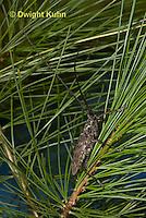 1C38-520z  Male Northeastern Pine Sawyer Beetle on pine needles, Monochamus notatus