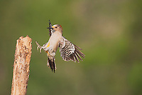 Golden-fronted Woodpecker (Melanerpes aurifrons), female landing, Sinton, Corpus Christi, Coastal Bend, Texas, USA