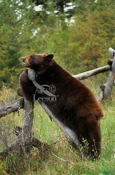 Black Bear in brown color phase leaning on fence post..Spring. Rocky Mountains..(Ursus americanus).